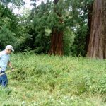 Scything under the giant redwoods