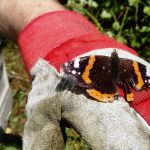 Red Admiral on glove